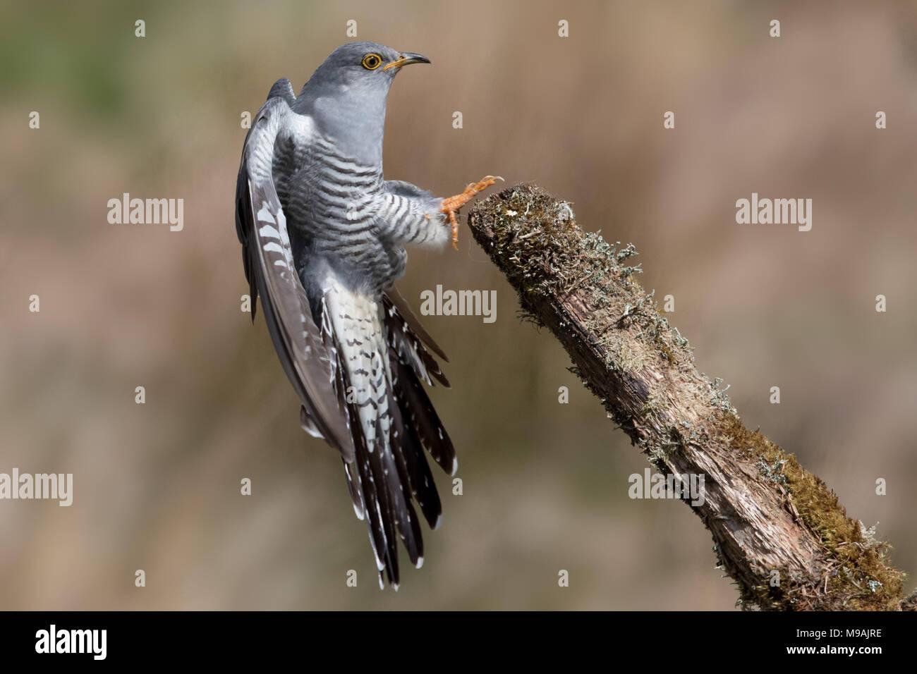 Cuckoo  landing on dead branch - Stock Image