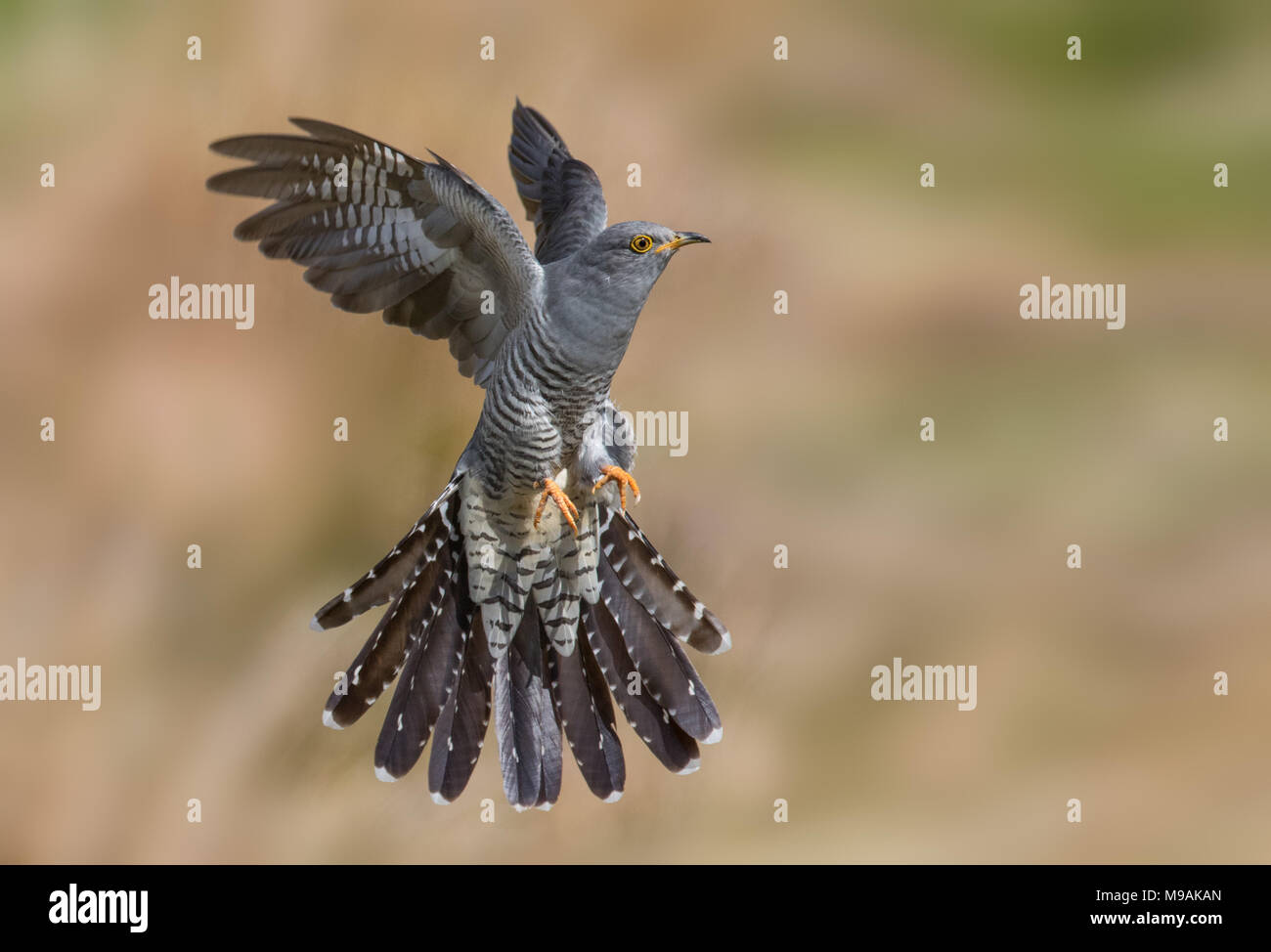 Cuckoo prepared for landing - Stock Image