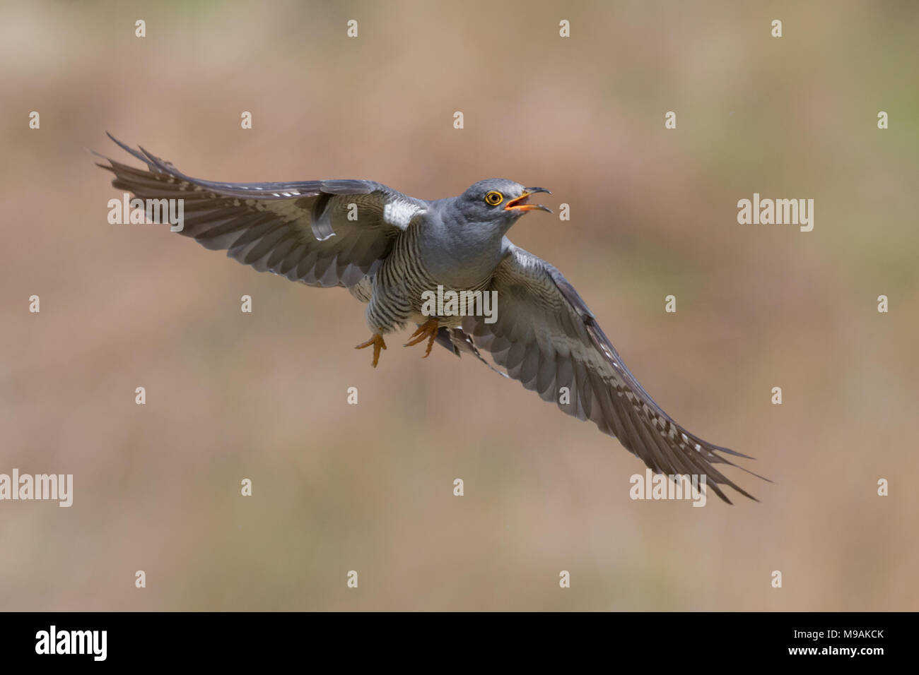 Cuckoo in flight - Stock Image