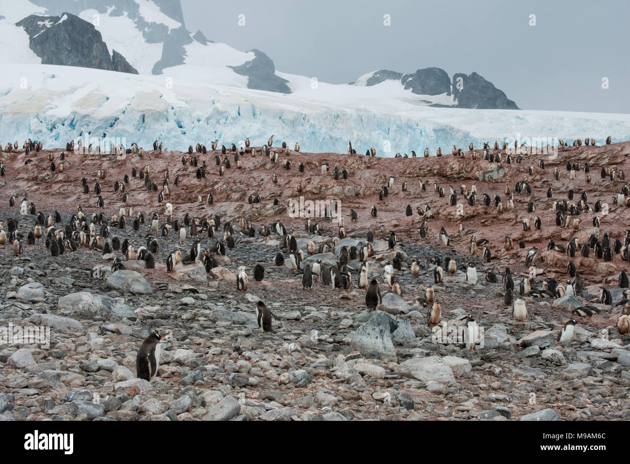 A colony of Gentoo Penguins in Antarctica - Stock Image