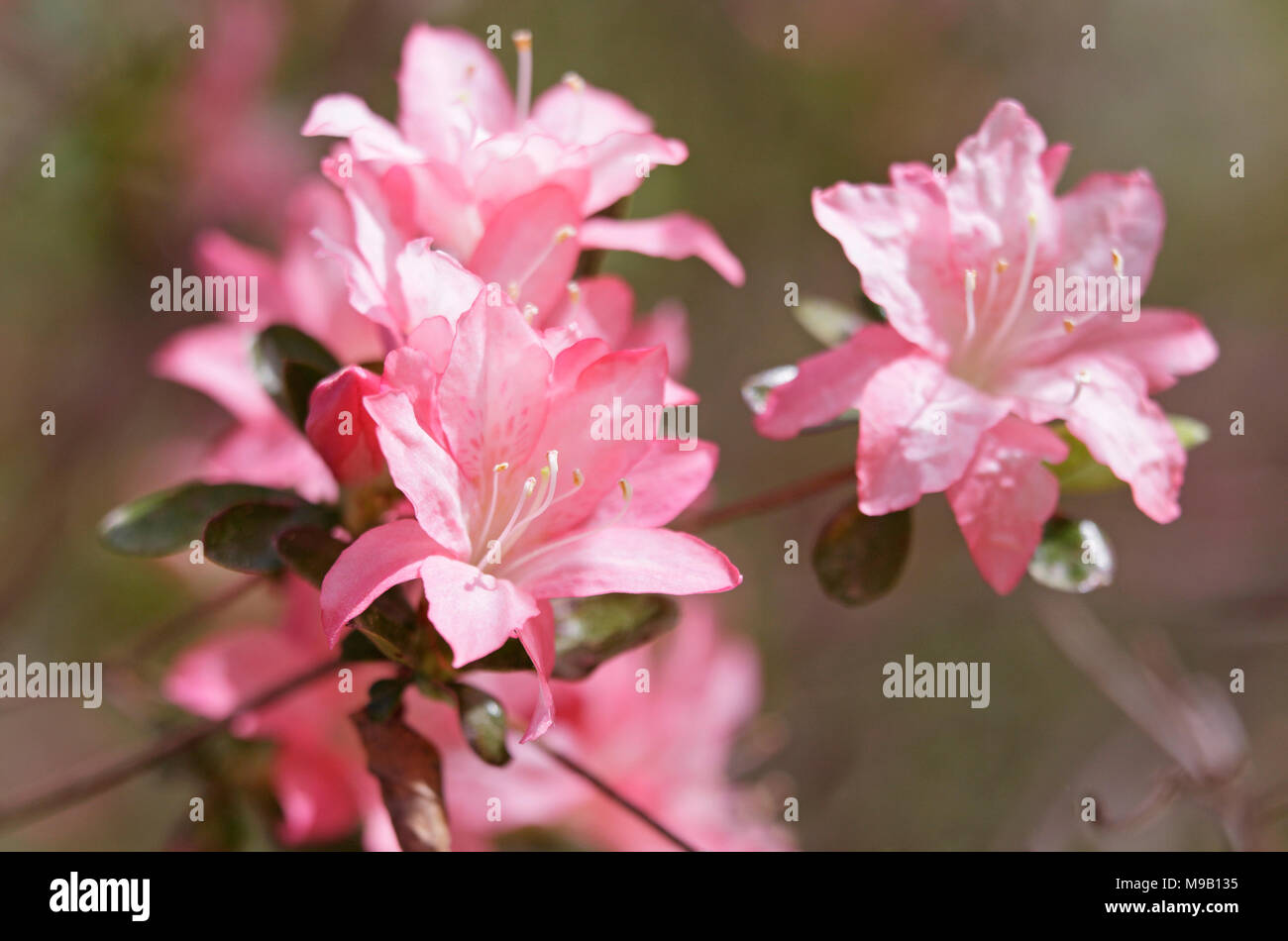 Rhododendron 'Pink pearl' - Azalea - April Stock Photo