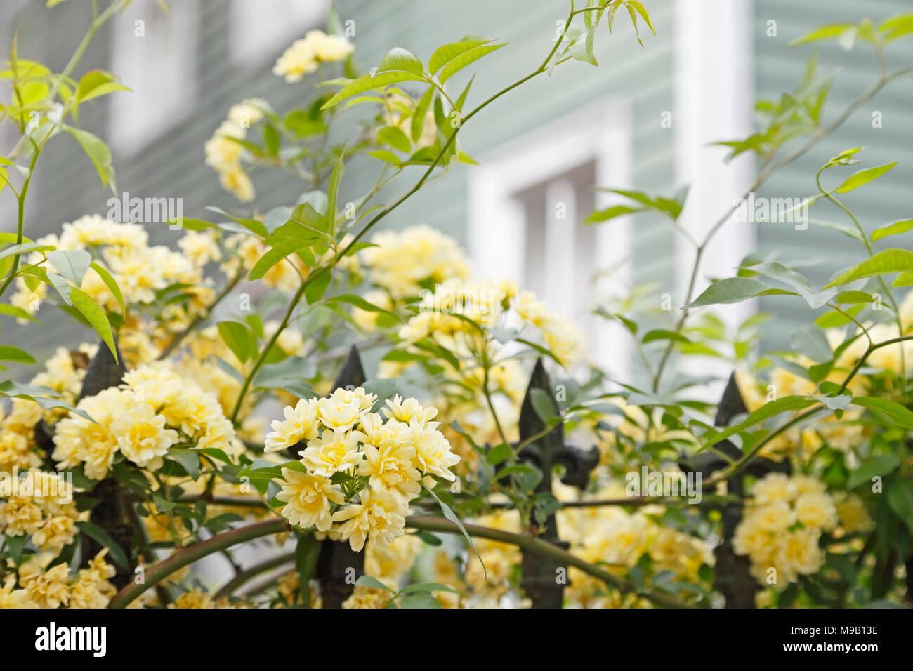 Rosa banksiae Lutea - Lady Banks Rose - April Stock Photo