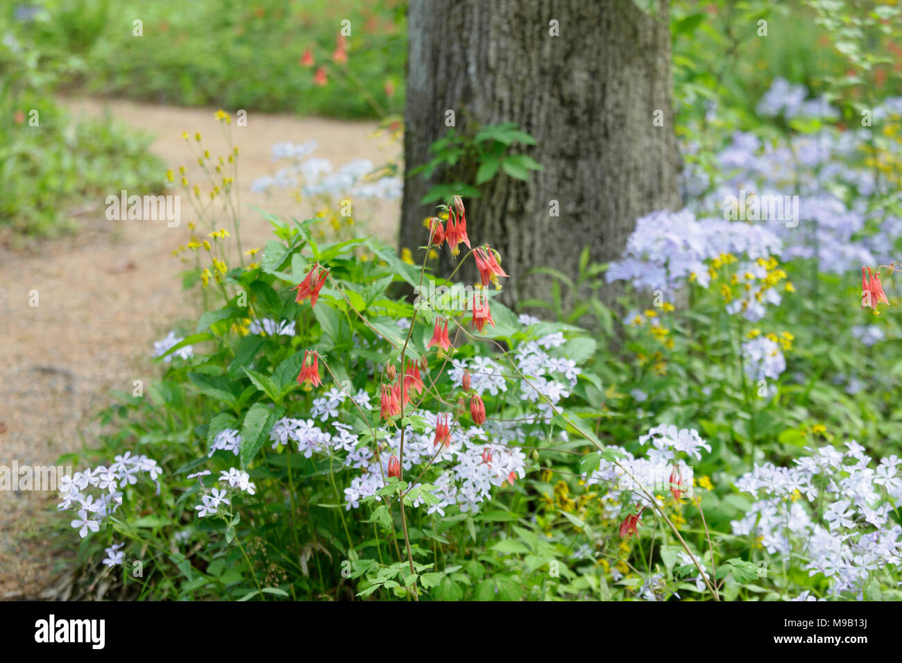 Walkway with border of Aquilegia canadensis and light blue Phlox Stock Photo