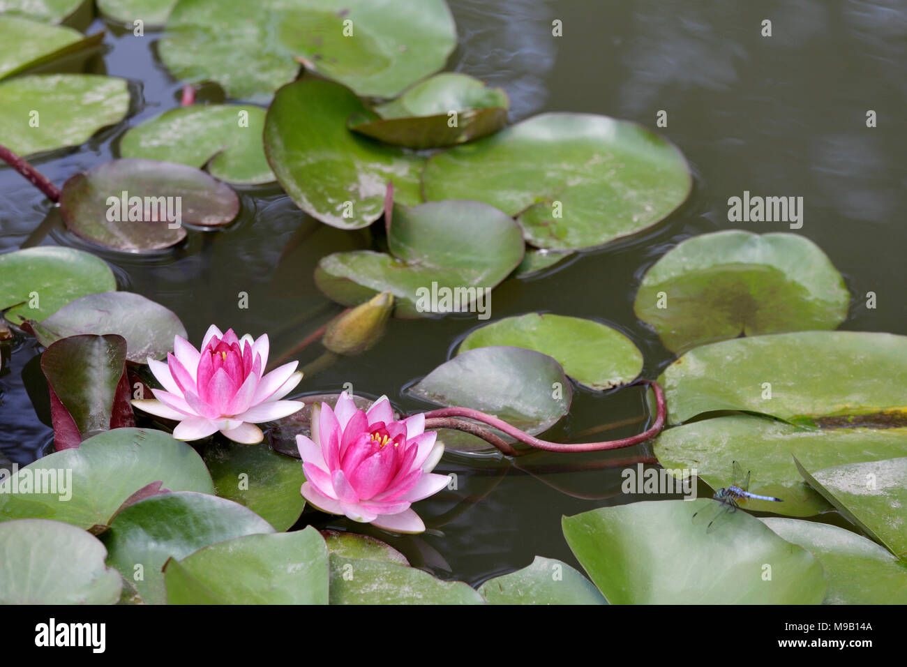 Nymphaea - Water Lily - August Stock Photo