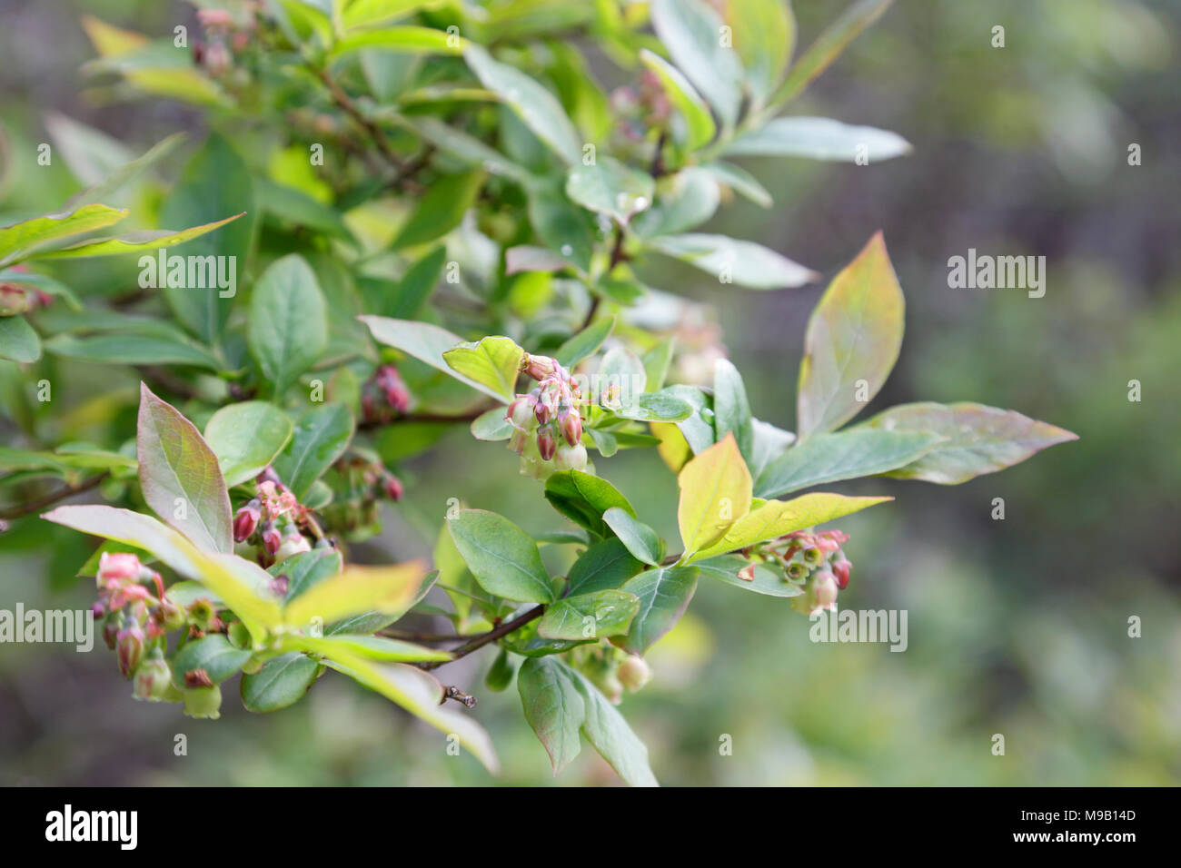 Pictures Of Wild Blueberry Bushes