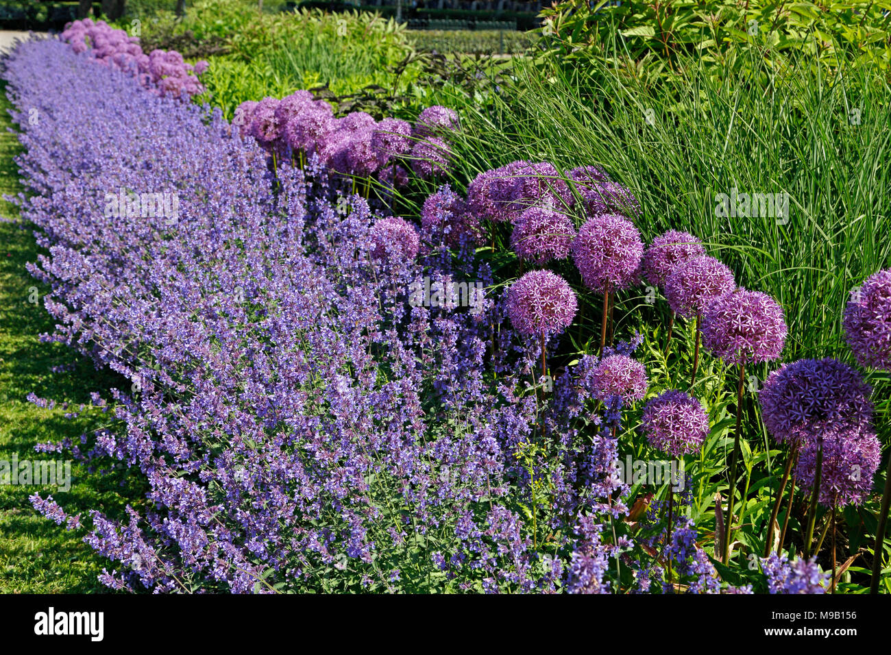 Border with Salvia and Allium - June Stock Photo