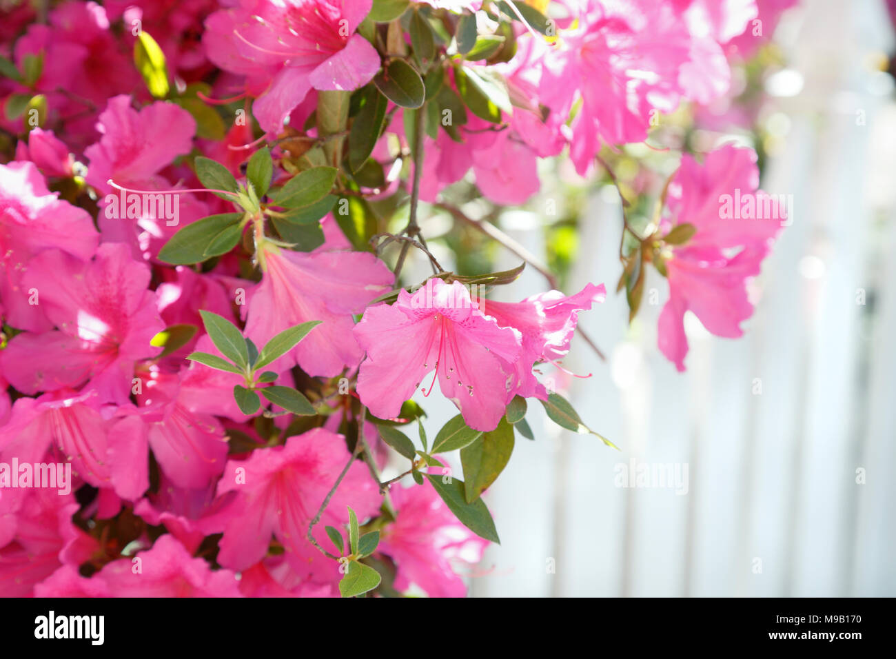 Rhododendron - Azalea with white picket fence Stock Photo