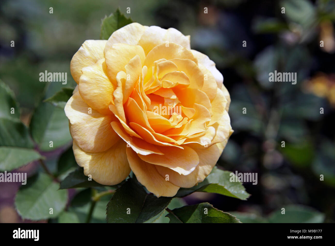 Rosa Honey Perfume - Stock Image