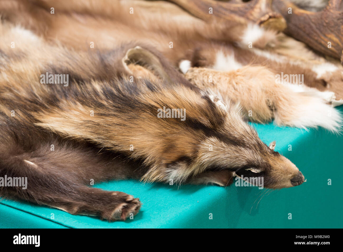 skin of killed foxes on fur - Stock Image