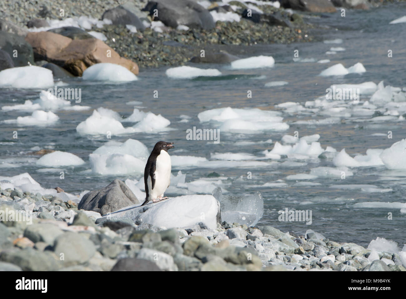 An Adelie Penguin (Pygoscelis adeliae)  standing on a rocky shoreline in Antarctica - Stock Image