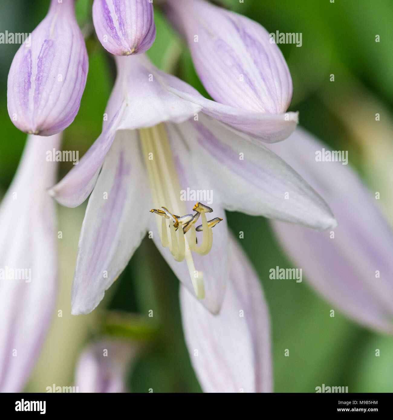 A Macro Shot Of The Flowers Of A Hosta Minuteman Plant Stock Photo