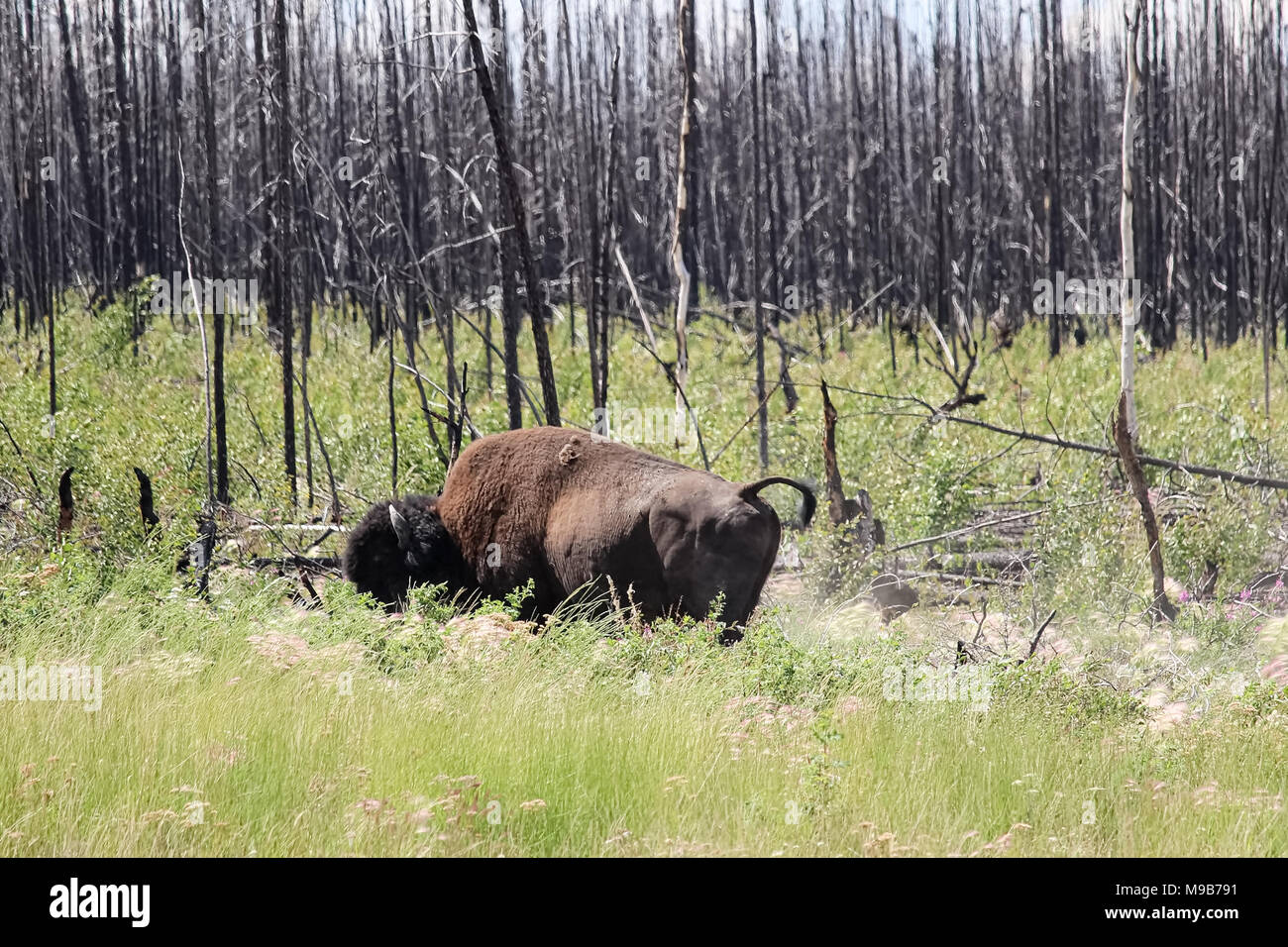 An angry buffalo raises it's tail in a warning - Stock Image