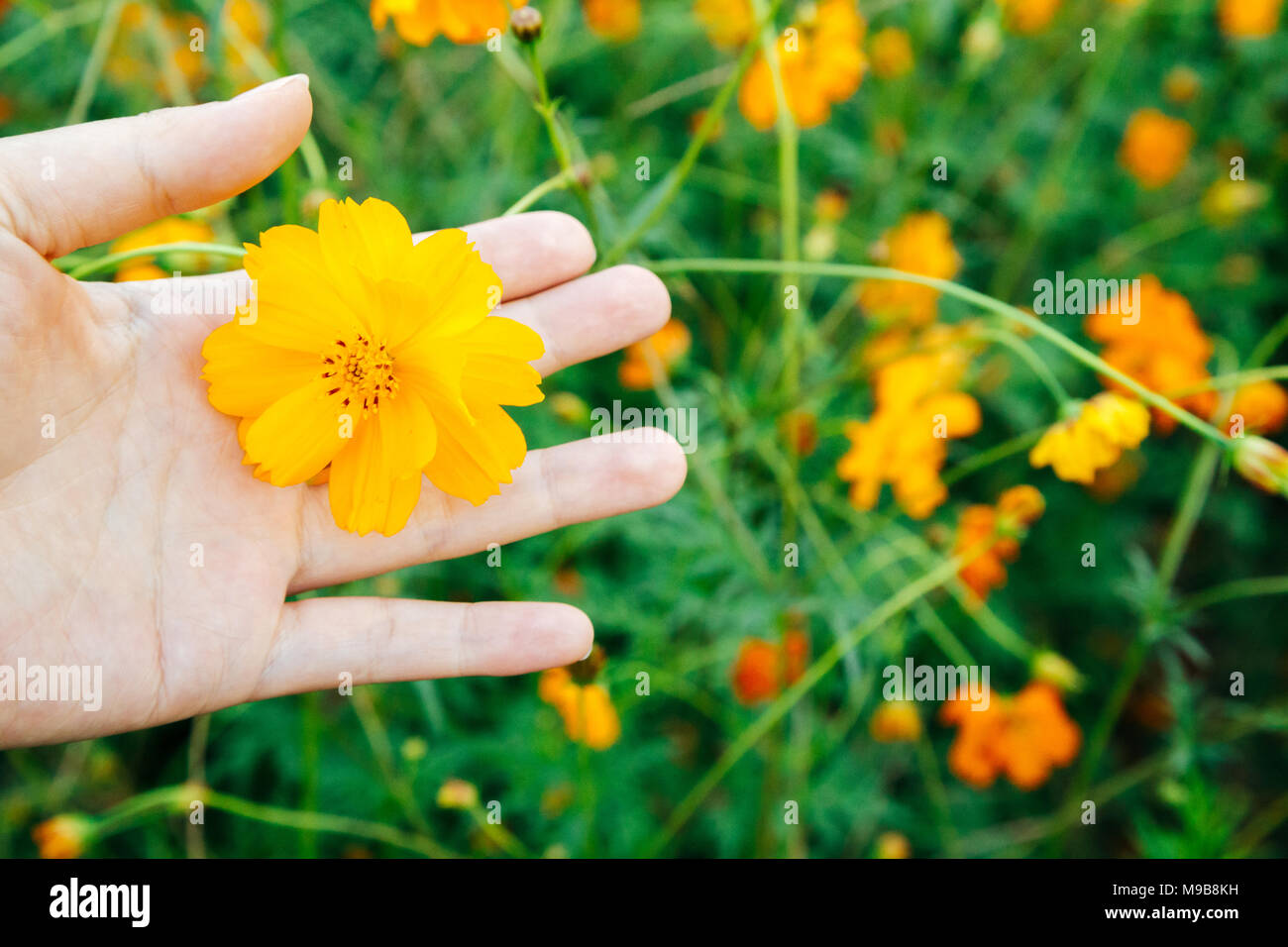 South Asia Yellow Flower Stock Photos South Asia Yellow Flower