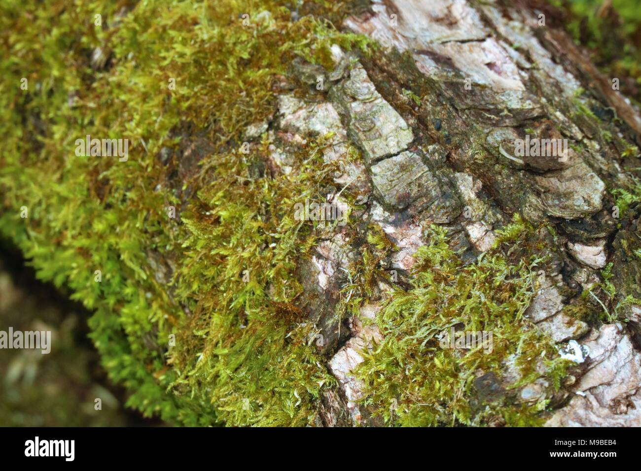 Green moss on a tree trunk in Spring - Stock Image
