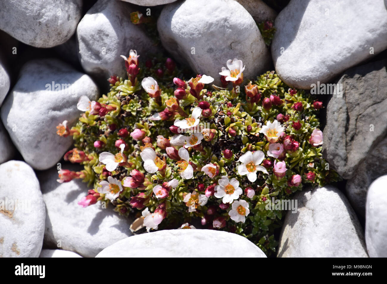 mini succulent plant with white pebbles in spring - Stock Image