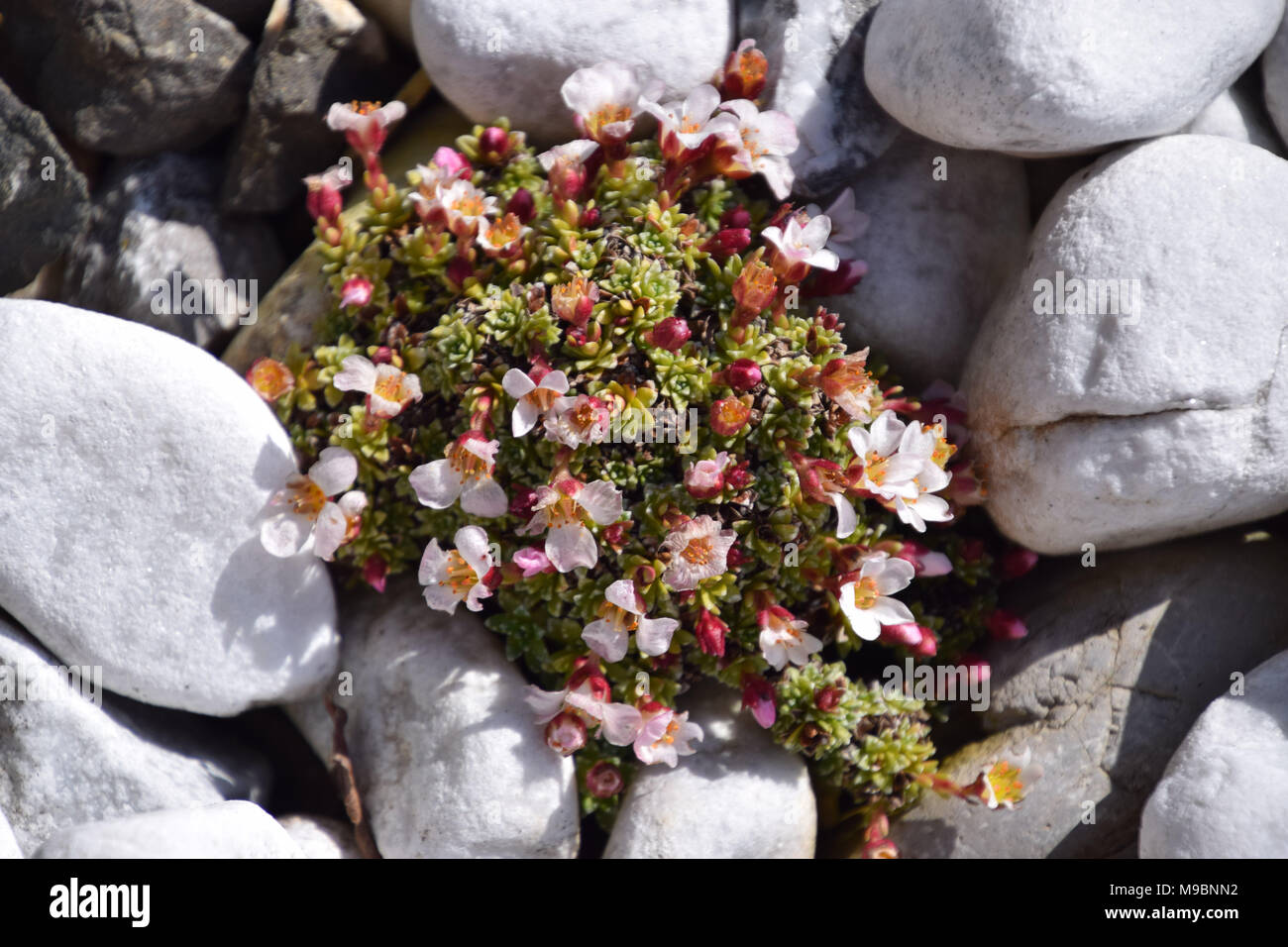 blooming succulents in the garden - Stock Image