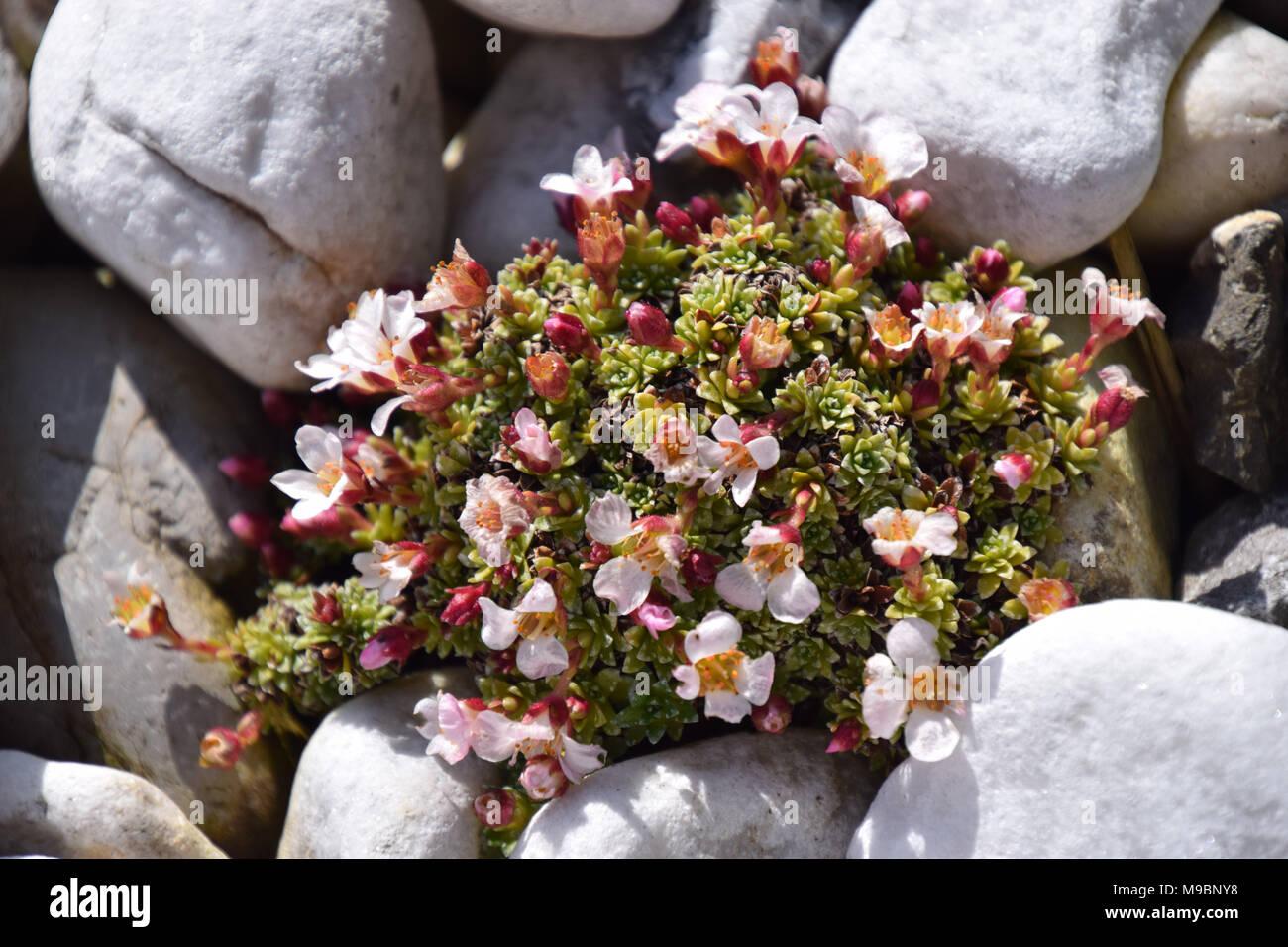 mini cactus succulents in spring - Stock Image