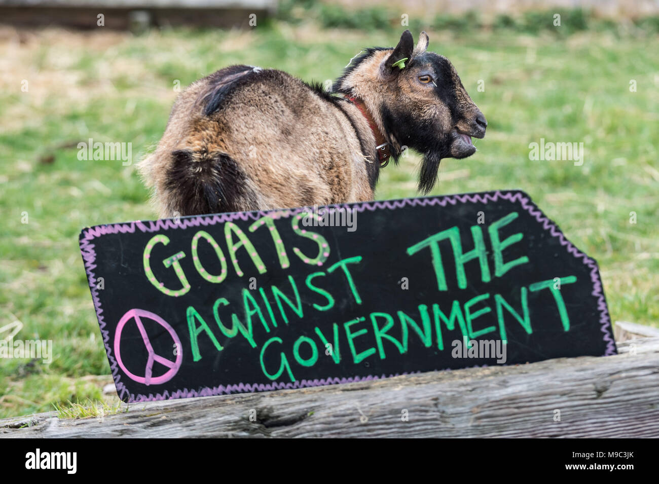 London, UK. 24th March, 2018. 10th Annual Oxford vs Cambridge Goat Race at Spitalfields City Farm. Credit: Guy Corbishley/Alamy Live News - Stock Image
