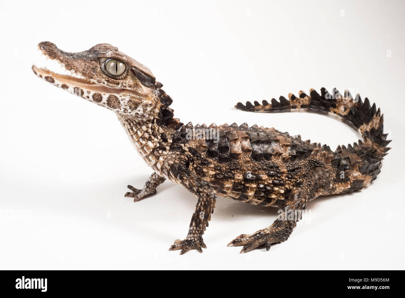 bd67a9ae6 Crocodilian Species Stock Photos   Crocodilian Species Stock Images ...