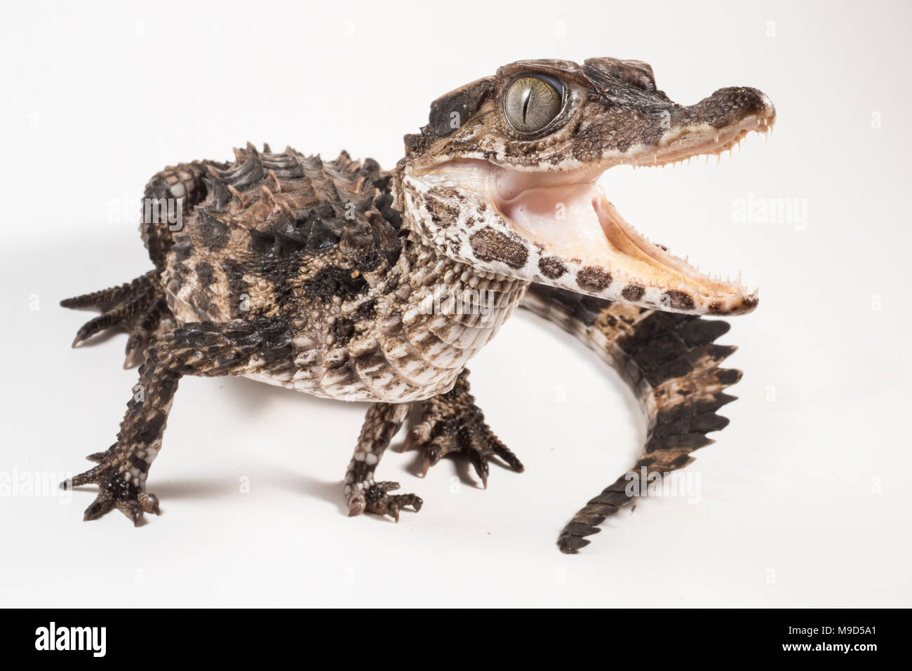 One of the smallest crocodilian species, the smooth fronted caiman from Peru, photographed isolated on a white background. - Stock Image