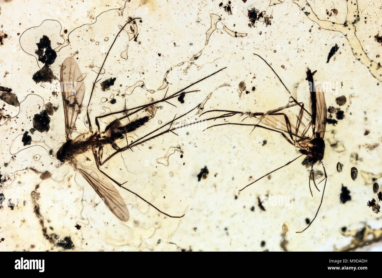 40 Million Year Old Mosquitoes in Amber, Dominican Republic - Stock Image
