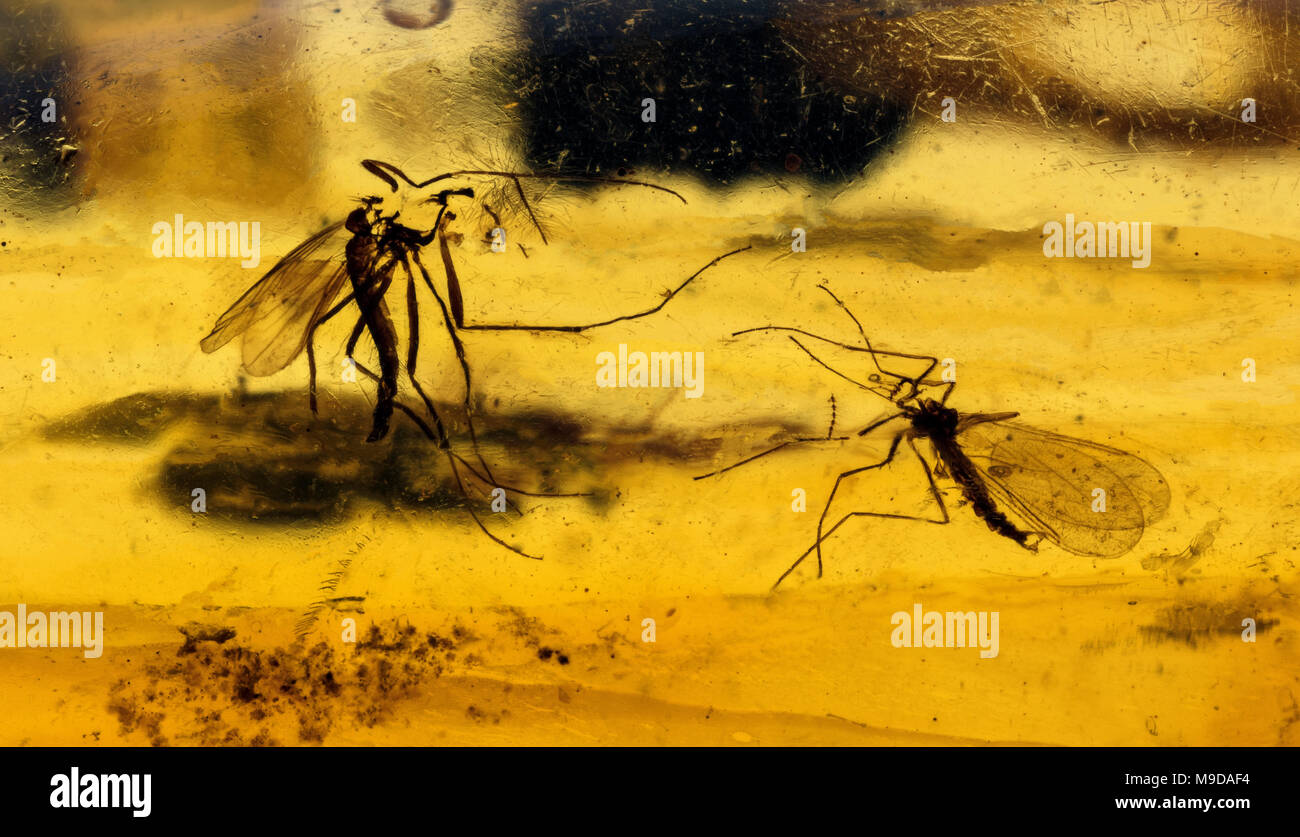 40 MYO Male & Female Mosquitoes in Amber, Dominican Republic - Stock Image
