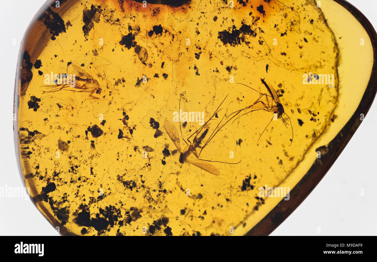 Mosquitoes in Amber 40 Million Years Old, Dominican Republic - Stock Image