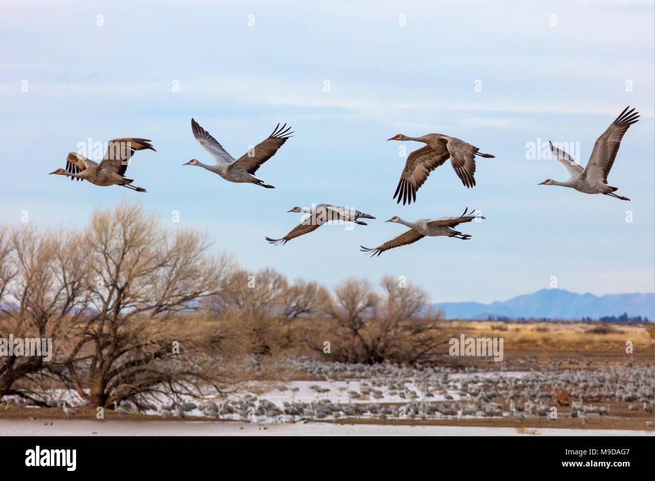 Sandhill Crane Migration, Antigone canadensis - Stock Image
