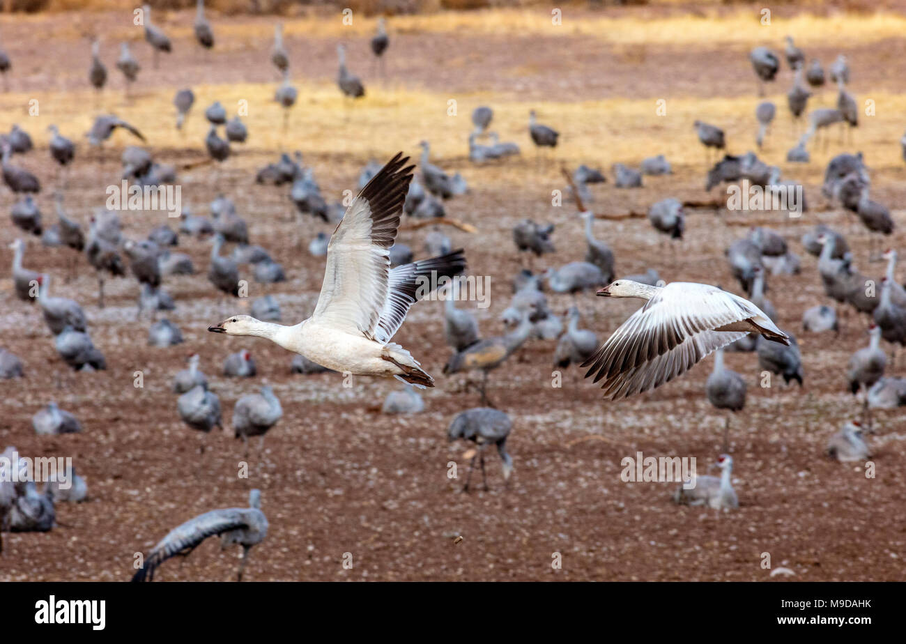 Snow Geese, Anser caerulescens Migrating through Arizona - Stock Image