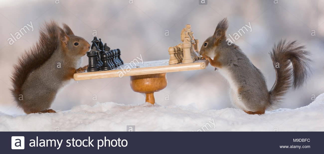 red squirrels with a start game of chess - Stock Image