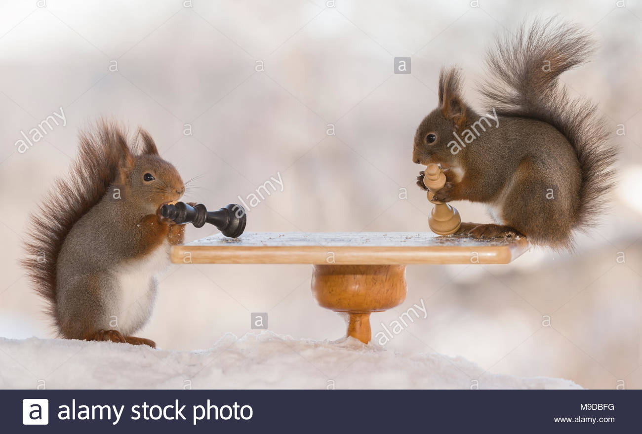 red squirrel are holding a king on a chess board - Stock Image