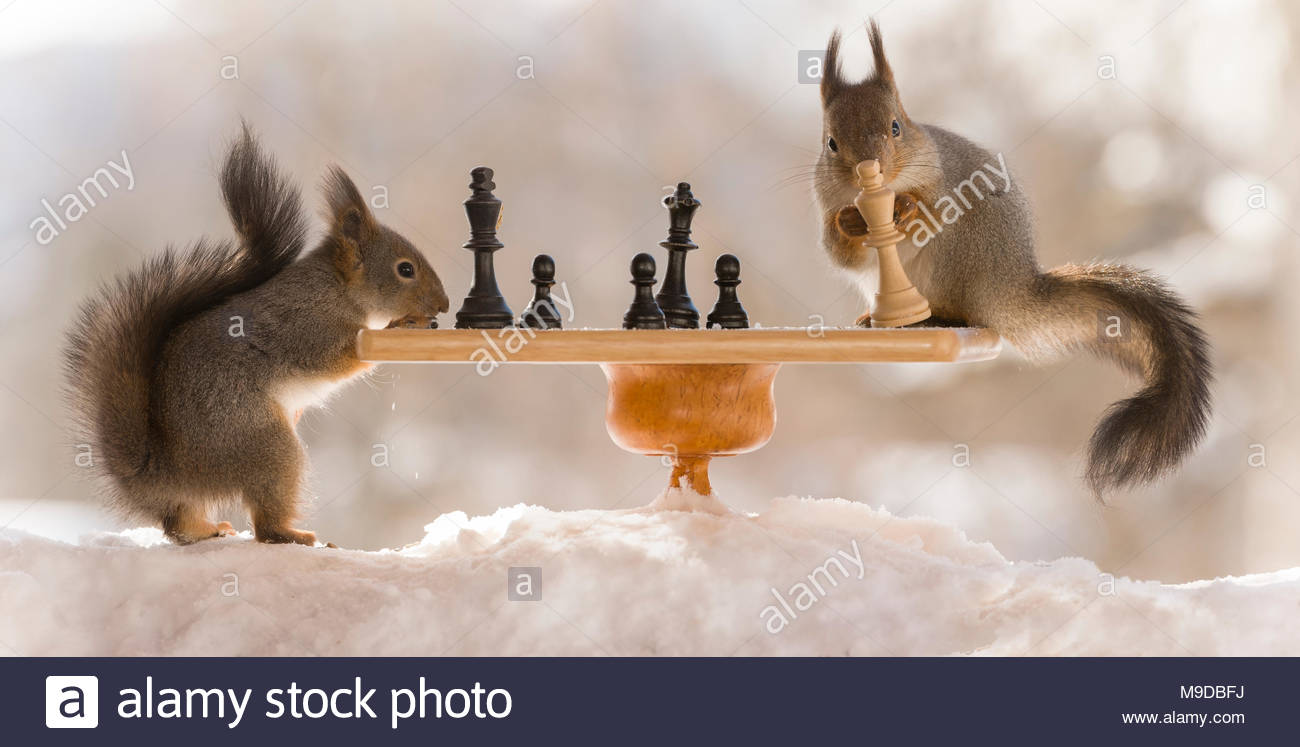 red squirrels with a chess board in snow - Stock Image