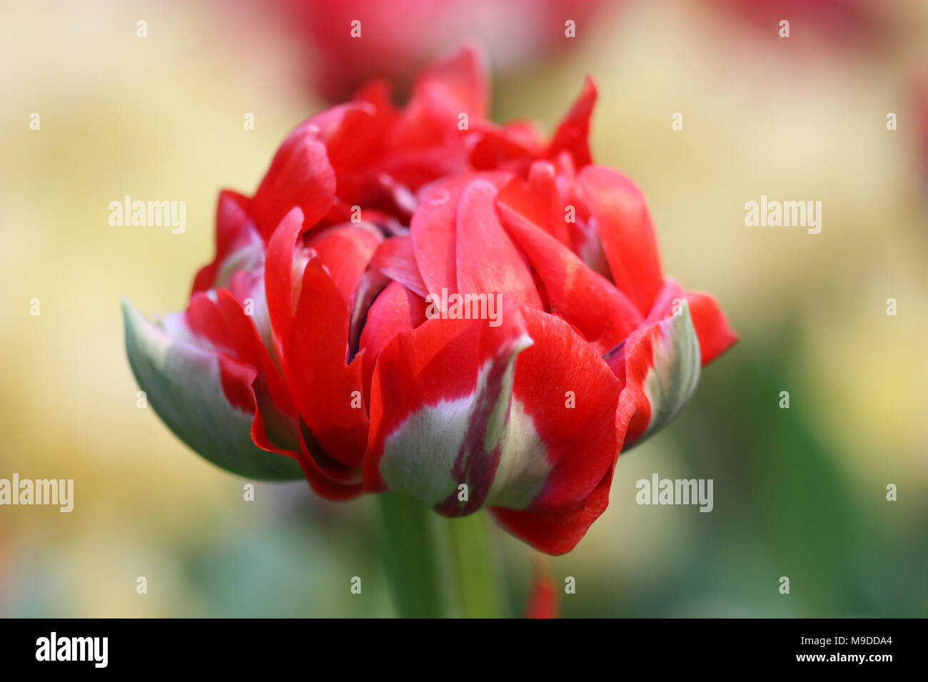 """Tulip of a grade of """"Rococo"""" a close up horizontally on blurring a background.Liliaceae Family. Tulipa. Stock Photo"""