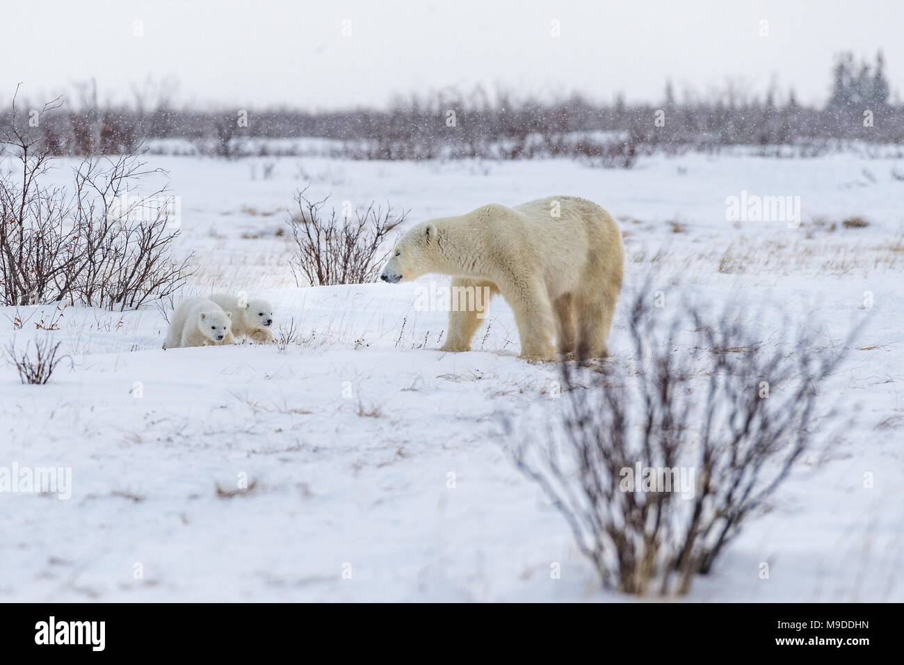 Newly Emerged from Den, Mother and two eight week old cubs - Stock Image