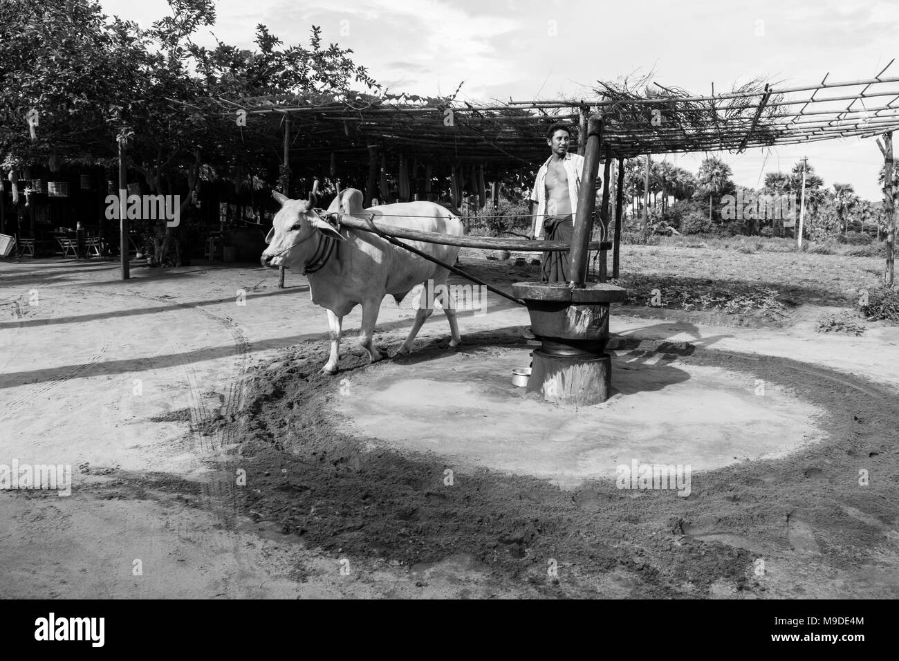 A Burmese farmer in longyi standing on an oil mill, powered by an ox, pulled in circles to grind peanuts and produce peanut oil. Myanmar agriculture - Stock Image