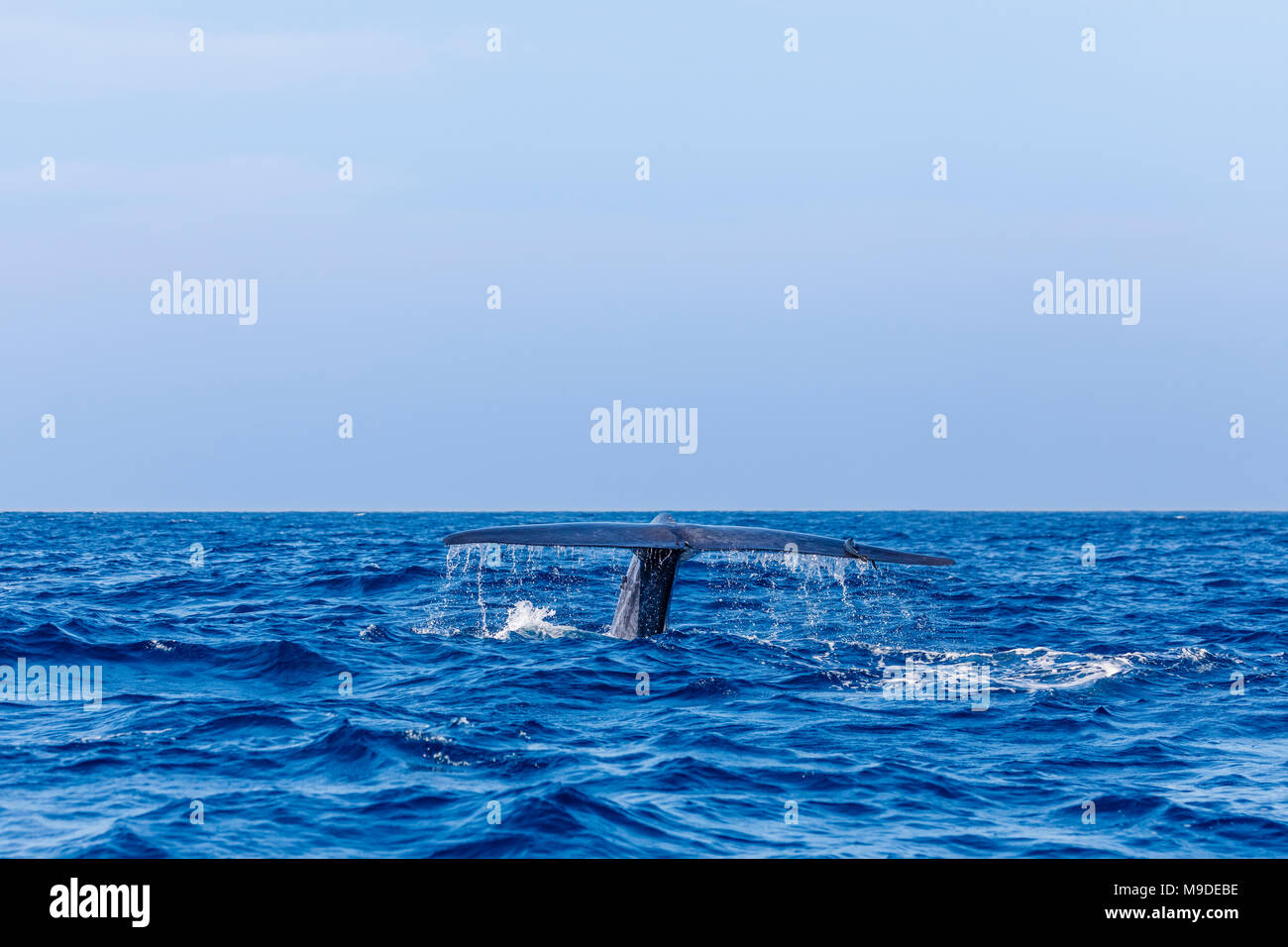 Blue whale (Balaenoptera musculus) tail fluke with suckerfish seen while whale watching at Weligama, Mirissa, Laccadive Sea, south coast of Sri Lanka - Stock Image