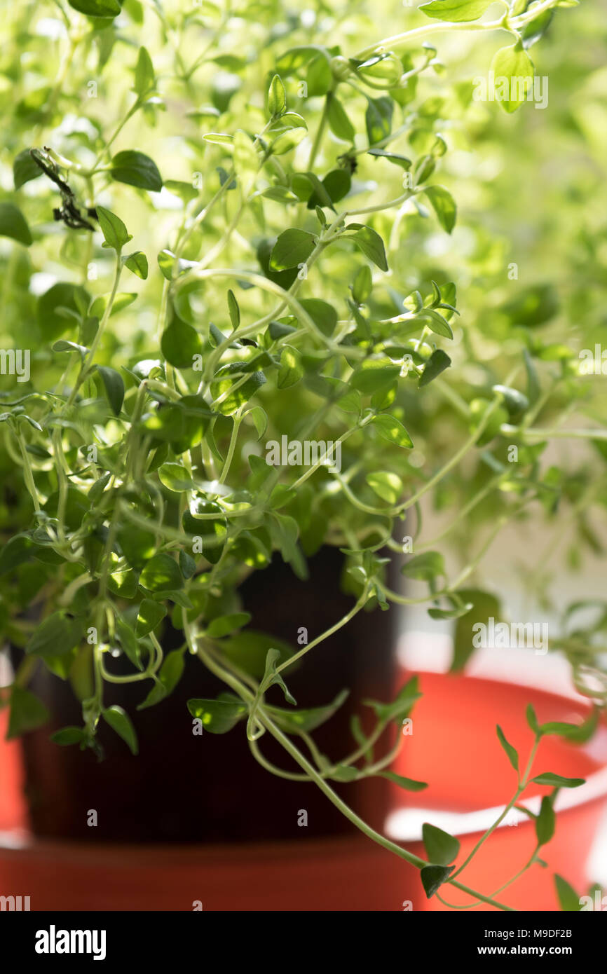 Backlit culinary herbs growing on a windowsill, London, England - Stock Image