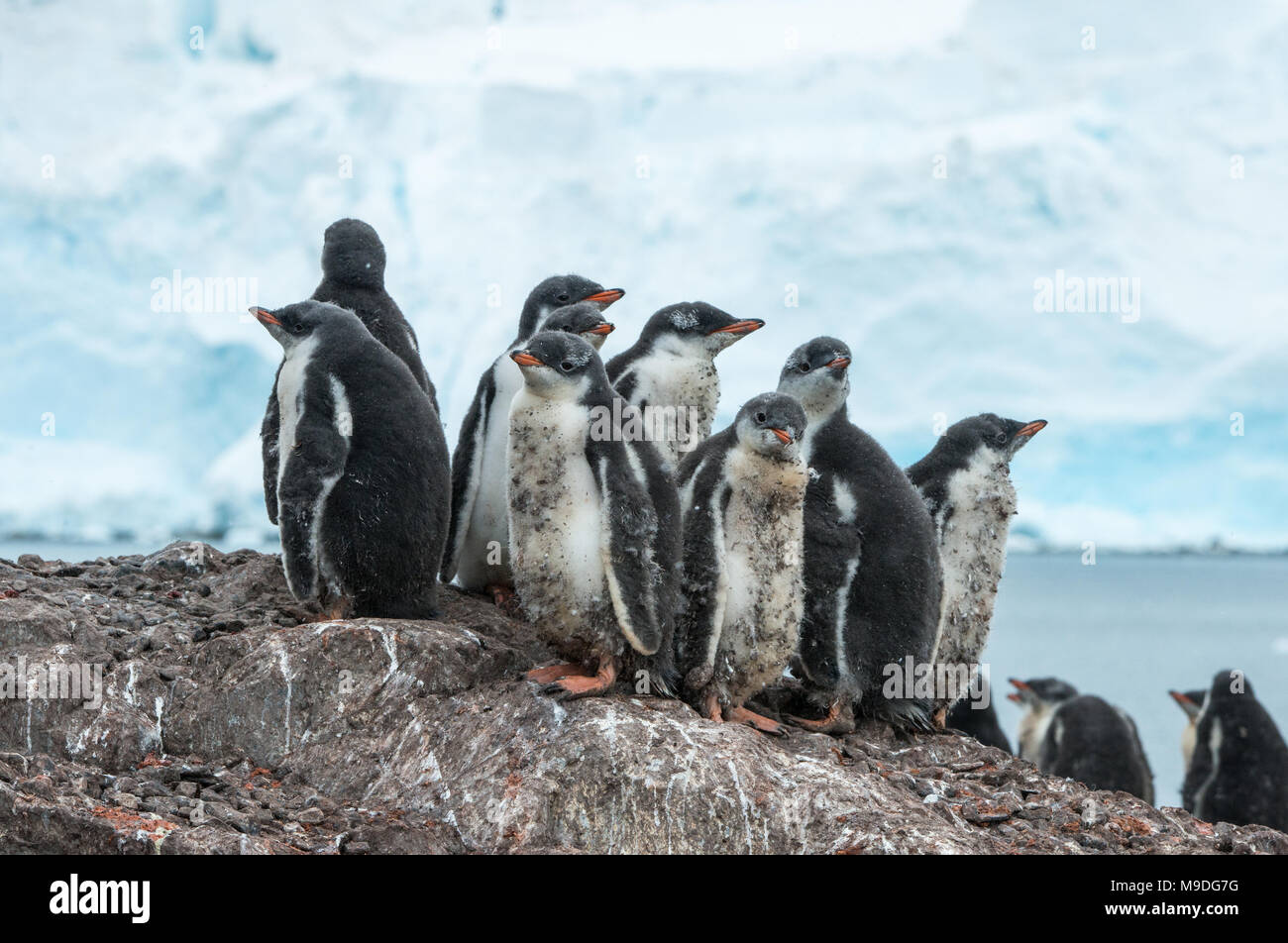 Safety in numbers. A Gentoo Penguin creche huddles together for safety on a rocky hillock in Antarctica - Stock Image