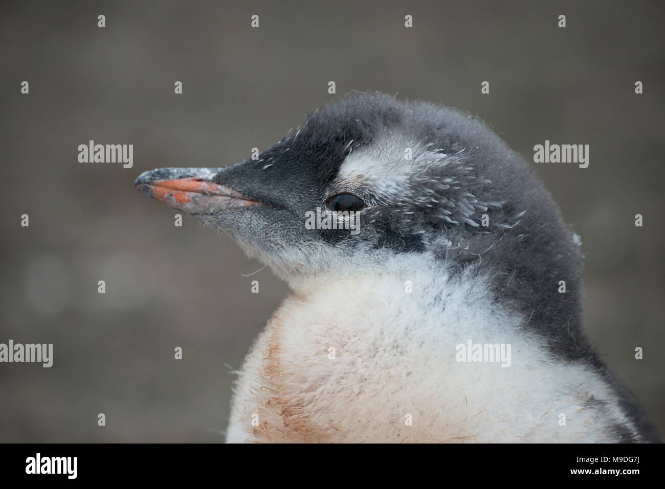A Gentoo Penguin chick, mid molt motionless on a rocky surface in Antarctica Stock Photo