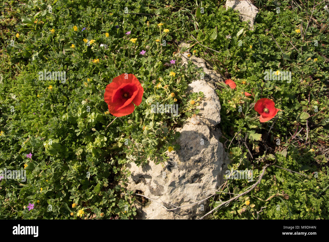 Red poppy and spring vegetation on the kato paphos beach in spring, paphos, island of cyprus, europe - Stock Image