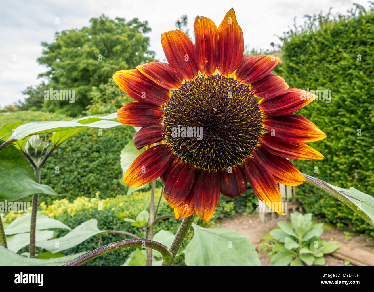 Red sunflower head - Stock Image