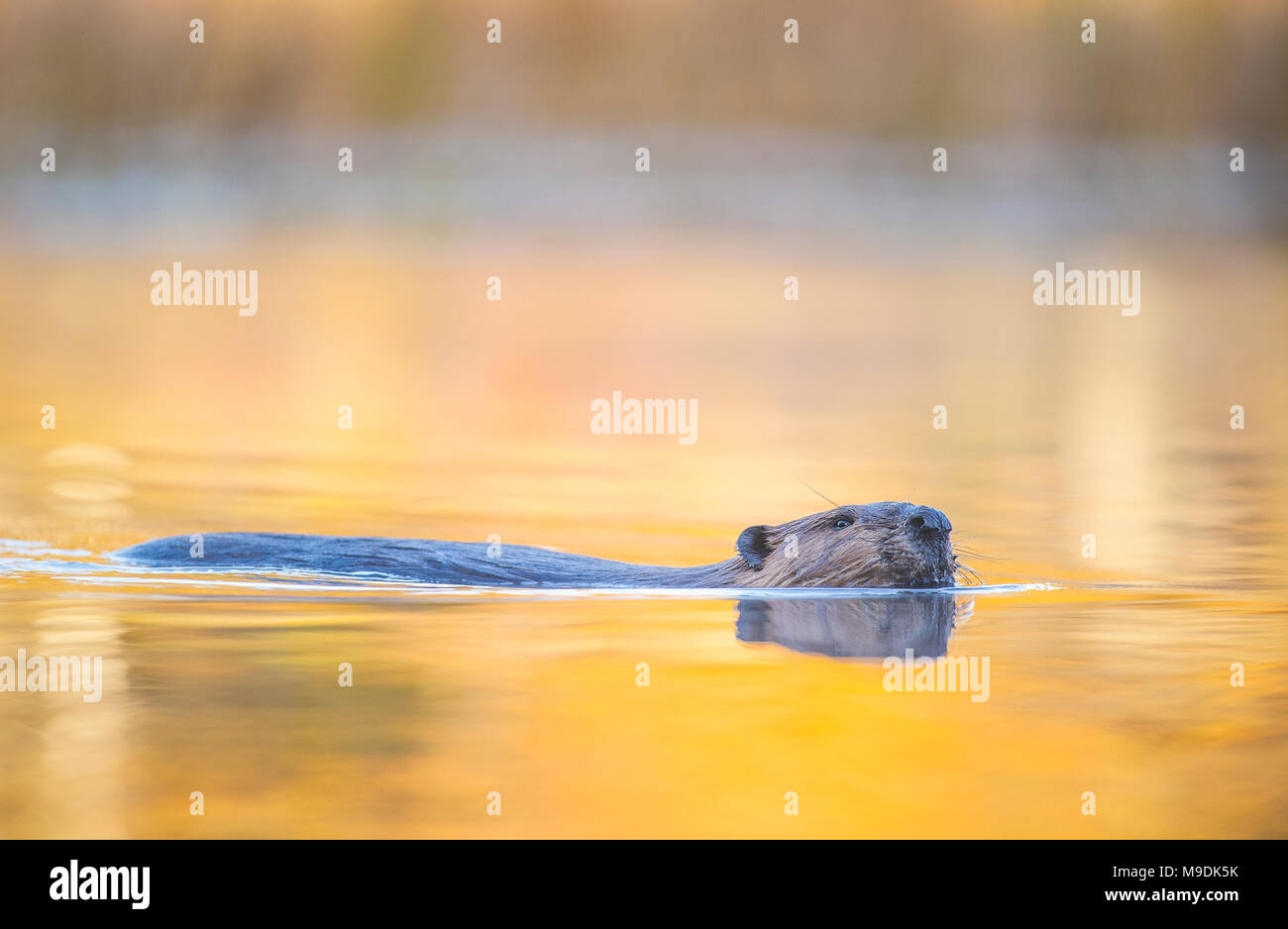 Beaver (Castor canadensis), MN, USA, by Dominique Braud/Dembinsk Photo Assoc Stock Photo