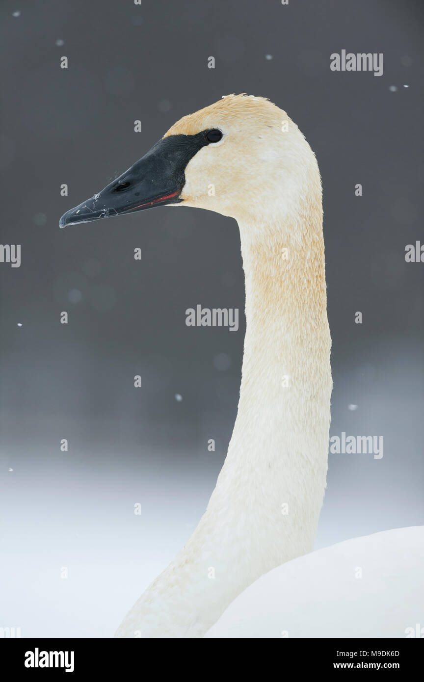 Adult Trumpeter swan (Cygnus buccinator), WI, USA, December, by Dominique Braud/Dembinsky Photo Assoc - Stock Image
