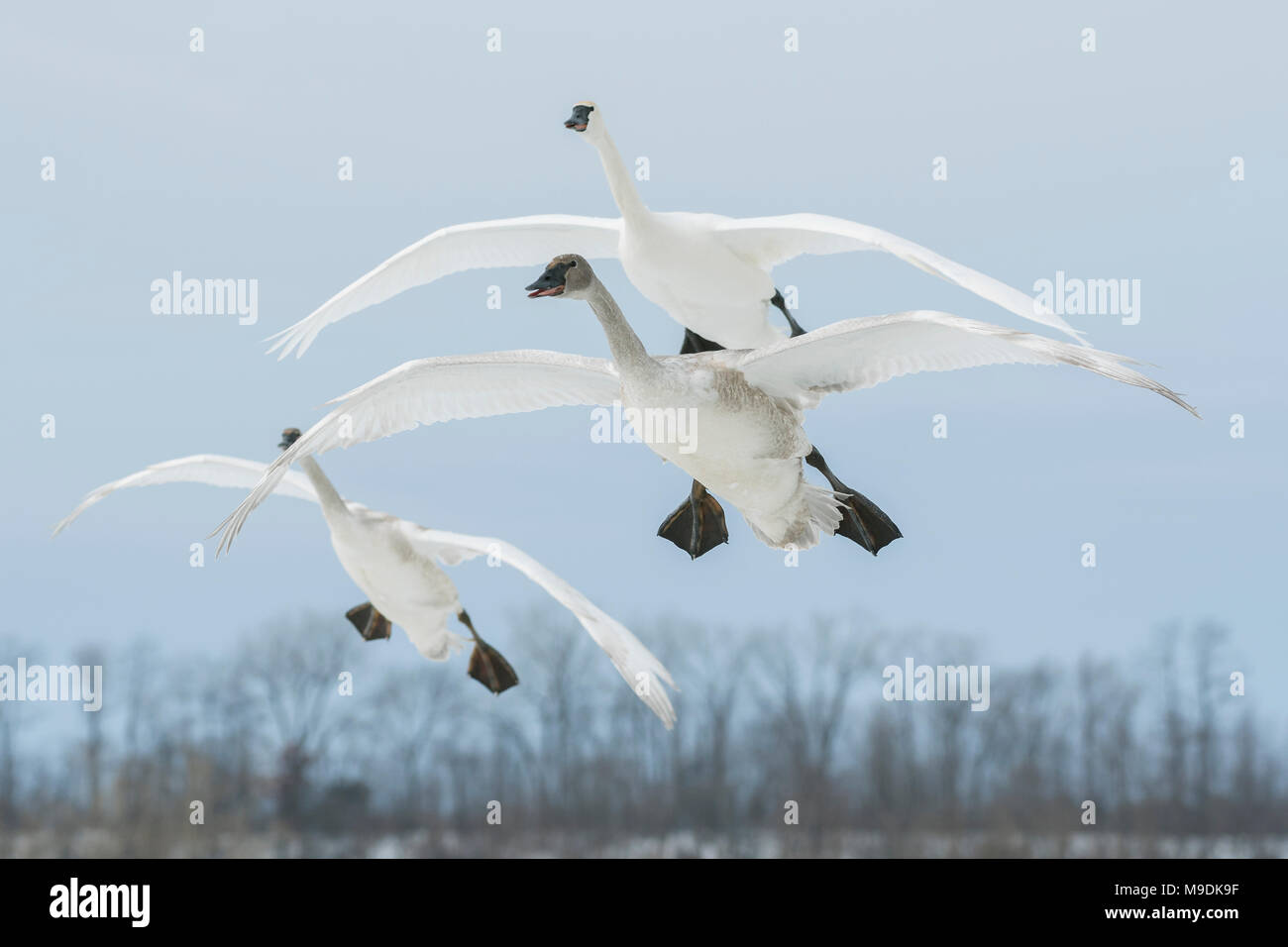 Trumpeter swans (Cygnus buccinator) landing on St. Croix River, WI, USA, late January, by Dominique Braud/Dembinsky Photo Assoc - Stock Image