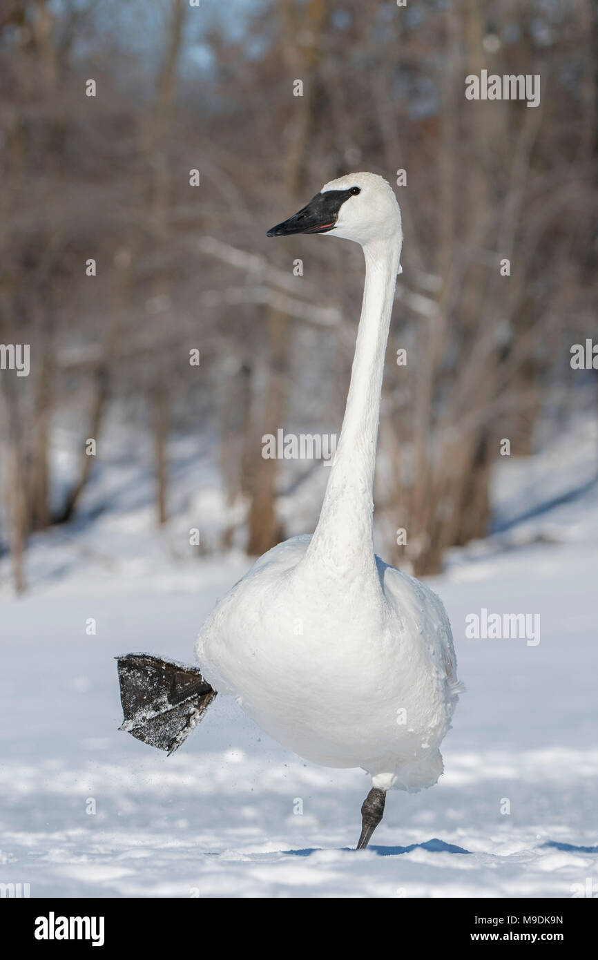 Trumpeter swan (Cygnus buccinator), St. Croix river, WI, USA, late February, by Dominique Braud/Dembinsky Photo Assoc - Stock Image