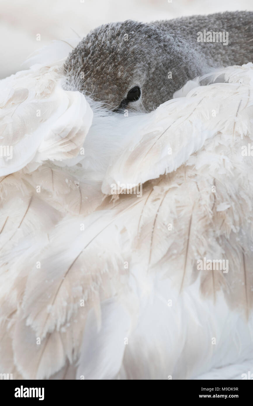 Immature trumpeter swan (Cygnus buccinator) with head tucked under its wings, WI, USA, by Dominique Braud/Dembinsky Photo Assoc - Stock Image