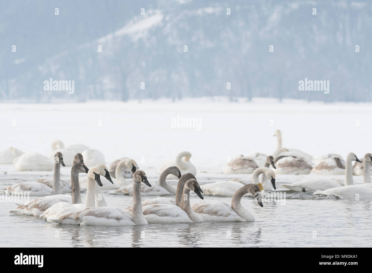 Trumpeter swan family Cygnus buccinator).  St. Croix River, WI, USA,Mid-January, by Dominique Braud/Dembinsky Photo Assoc - Stock Image