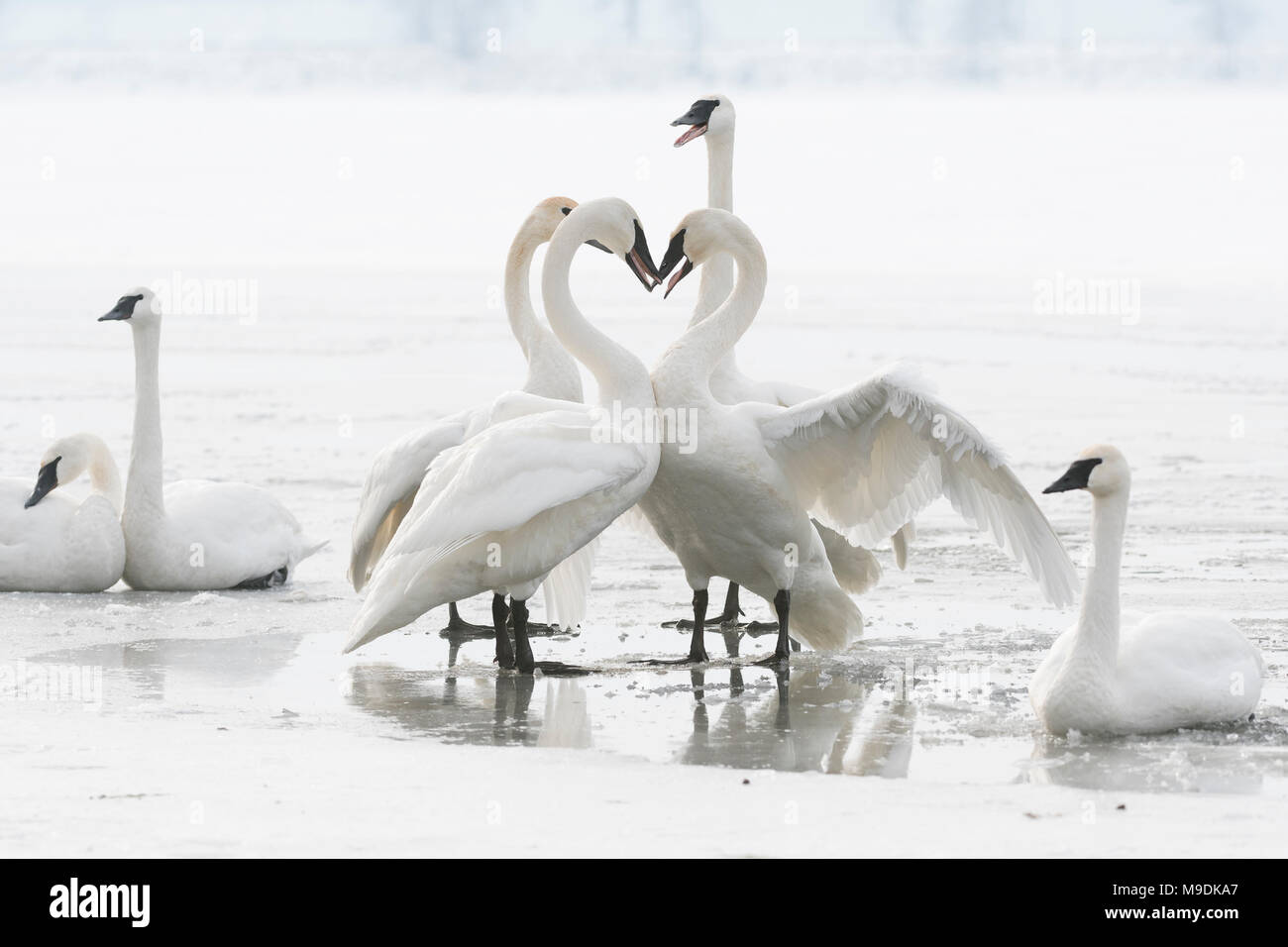 Trumpeter swans (Cygnus buccinator), territorial posturing, St. Croix River, WI, USA, mid January, by Dominique Braud/Dembinsky Photo Assoc - Stock Image