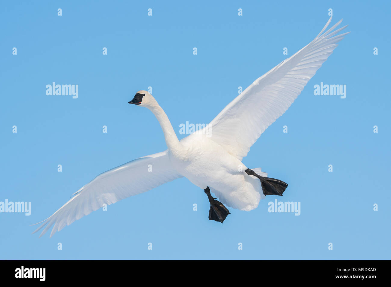 Trumpeter swan (Cygnus buccinator) about to land, WI, USA, by Dominique Braud/Dembinsky Photo Assoc - Stock Image