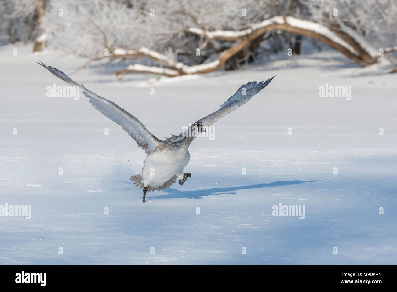 Trumpeter swan (Cygnus buccinator) lifting off of the St. Croix river, WI, USA, by Dominique Braud/Dem binsky Photo Assoc - Stock Image